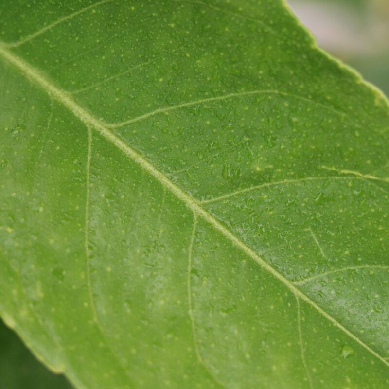 Eureka Lemon - Upclose - Leaf